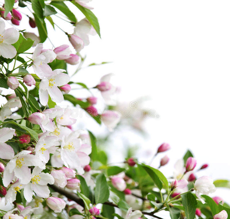 Apple blossoms background royalty free stock photos