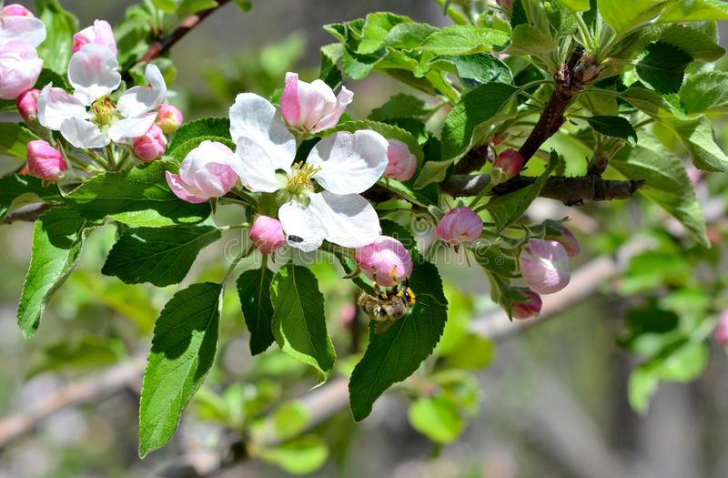 Apple blossoms being pollinated by honey bee stock image