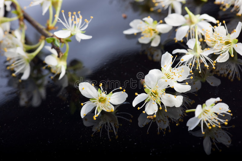 Apple blossoms on black background stock photo