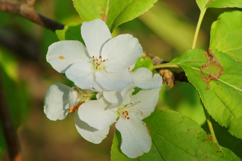 Apple Blossoms. The apple blossom is a typical angiosperm flower, with petals surrounding multiple pollen-producing structures called stamens, the male royalty free stock photo
