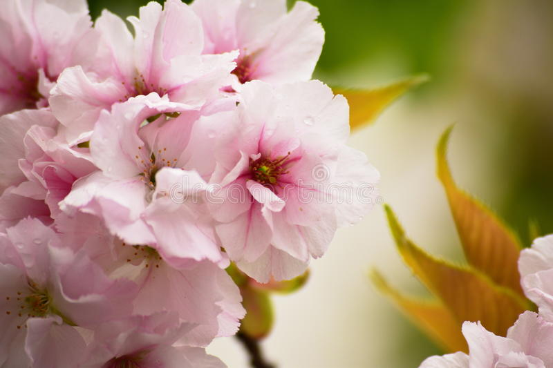 Apple blossoms close-up royalty free stock photography