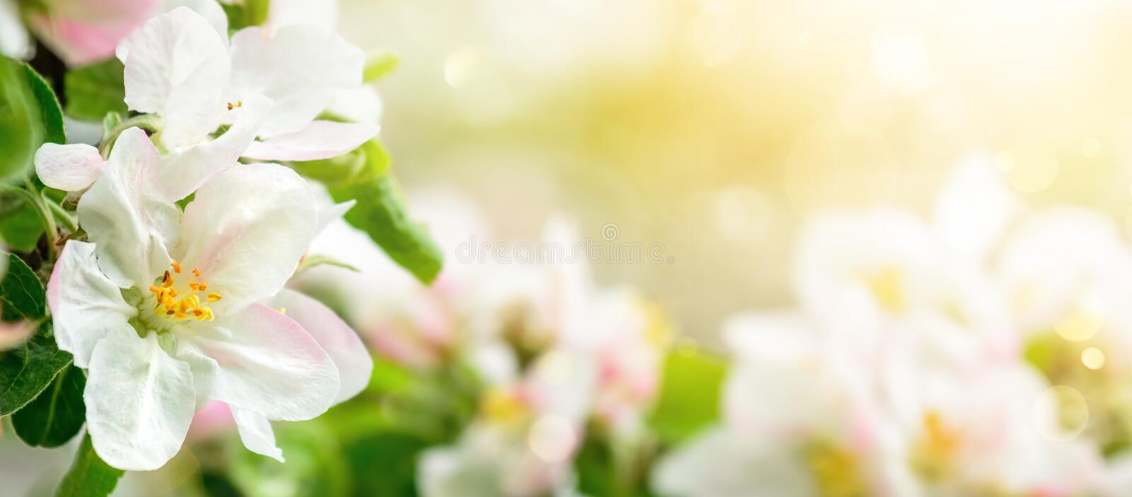 Apple blossoms closeup with copy space stock photography