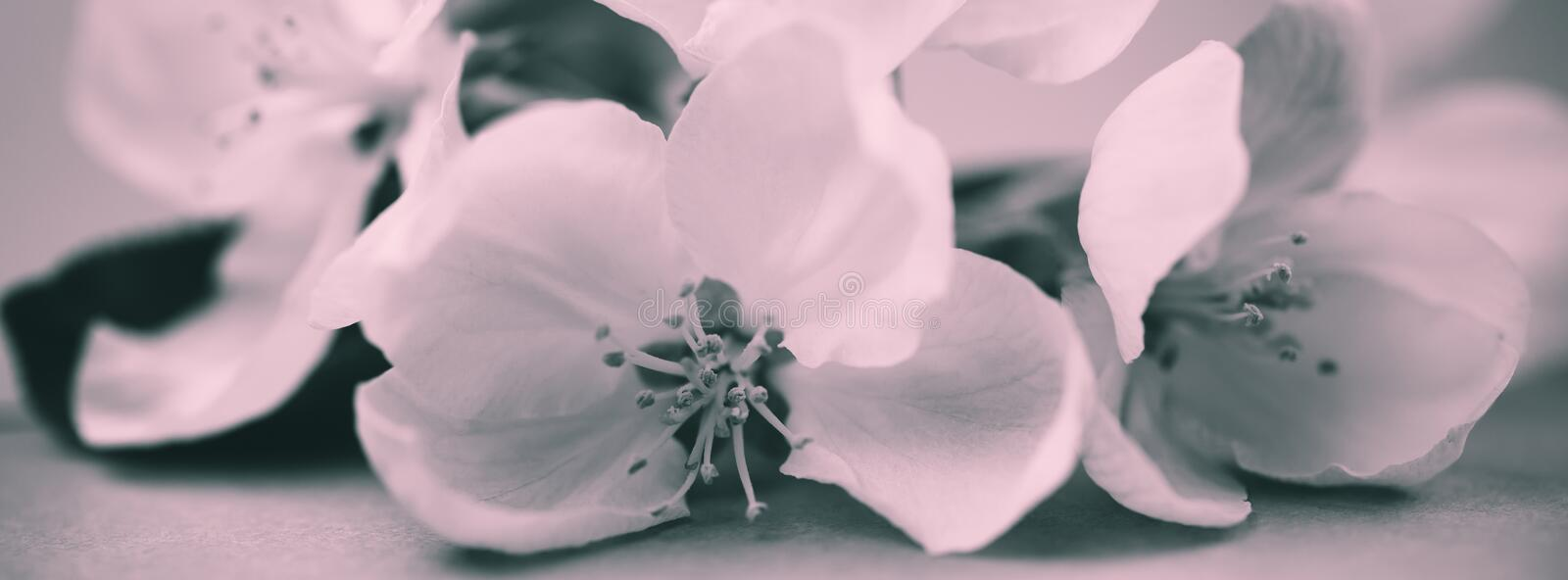 Apple blossoms over blurred bw background stock images