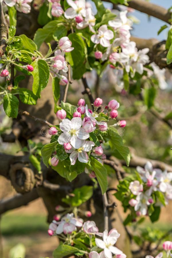 Blooming apple orchard royalty free stock photo