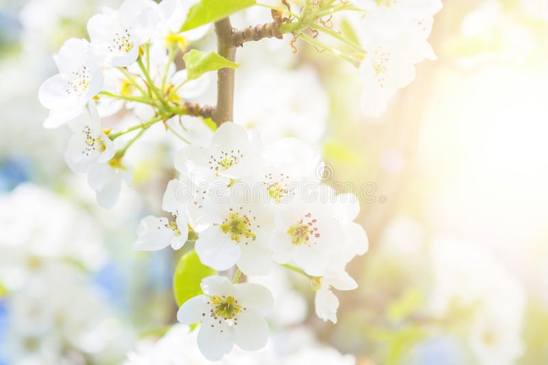 Apple blossoms spring flowers over blue sky stock photography