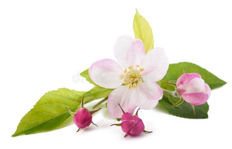 Apple-Blumen mit den Knospen lizenzfreie stockbilder
