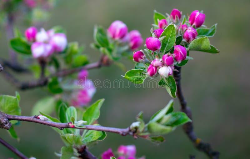 Apple-Blumenknospen auf einem grünen Hintergrund lizenzfreie stockbilder