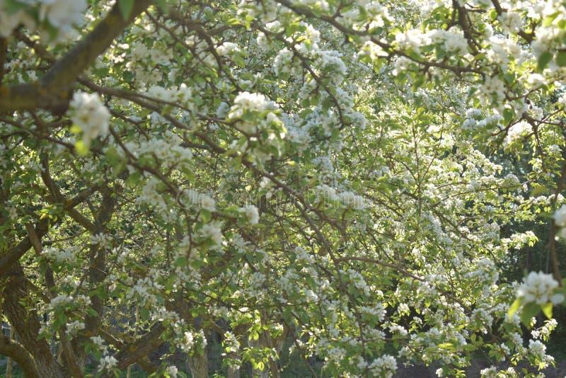 Apple-bomen in het bloeien met witte bloemen royalty-vrije stock fotografie