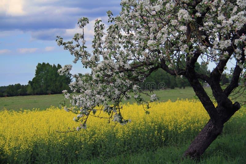 Apple-bomen met de achtergrond van het rapsegebied stock foto's