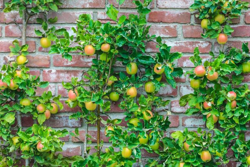 Apple-bomen met gerijpte appelen in een boomgaard royalty-vrije stock fotografie