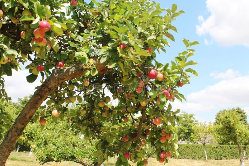 Apple-bomen orchand stock afbeeldingen