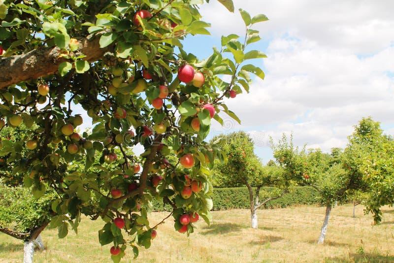 Apple-bomen orchand stock afbeelding