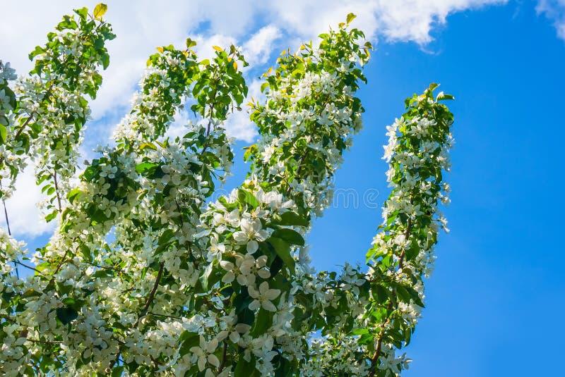 Apple-bomenbloemen T royalty-vrije stock foto