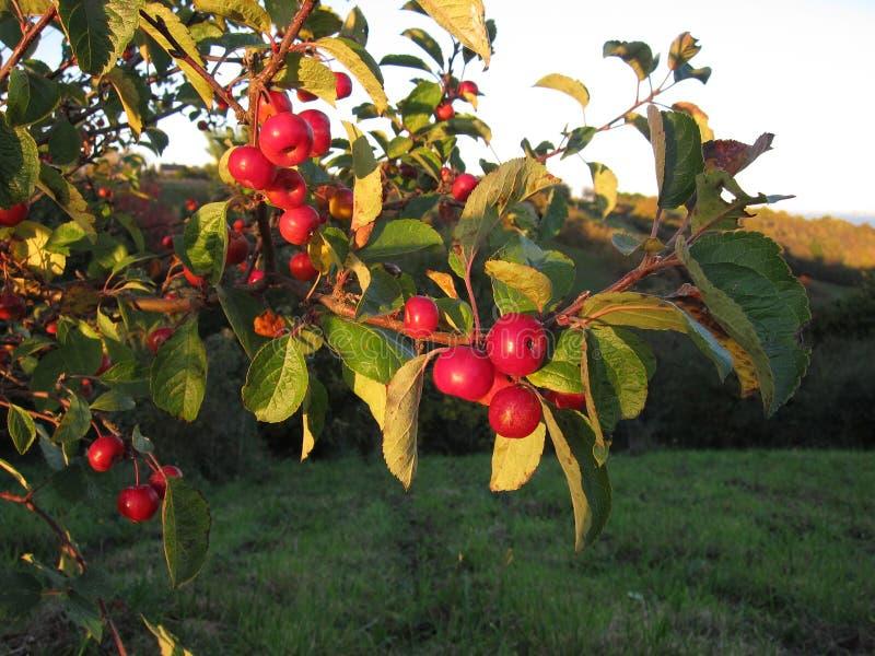 Apple-boom bij daling stock foto's