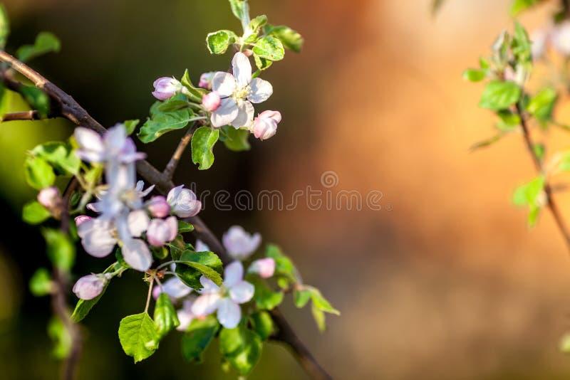 Apple-boom bloemen in het licht van de zonsondergang Weelderige de lentebloei in de Siberische tuin royalty-vrije stock foto's