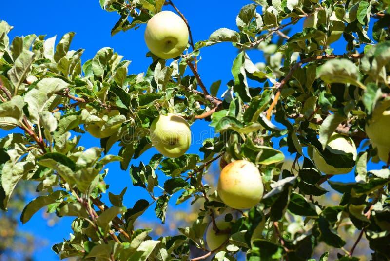 Apple-Boom in Daling royalty-vrije stock afbeelding