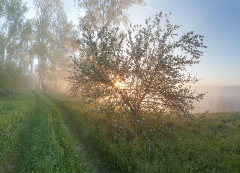 Apple-boom in de mist stock fotografie