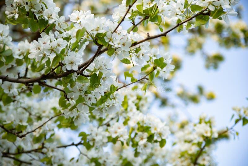 Apple-boom die met witte bloemen tegen de blauwe hemel bloeien royalty-vrije stock afbeeldingen