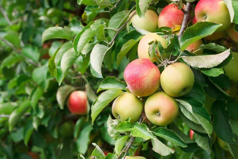 Apple-boom in een boomgaard stock fotografie