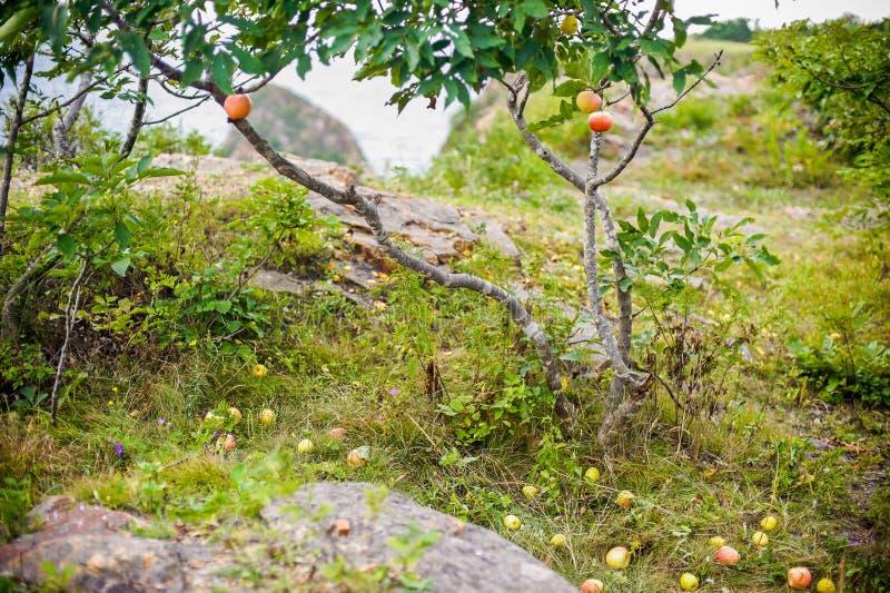 Apple-boom met appelen en viel op het gras royalty-vrije stock afbeeldingen