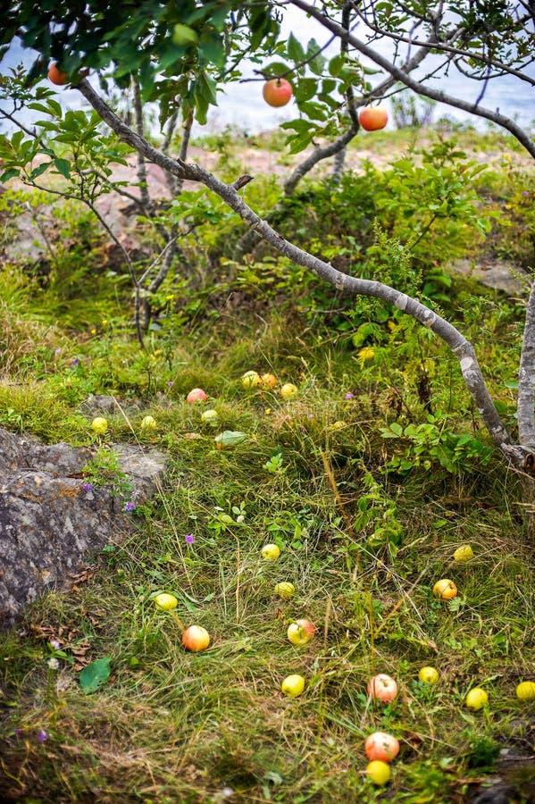 Apple-boom met appelen en viel op het gras stock foto's