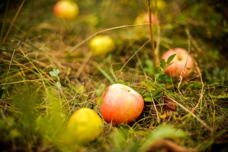Apple-boom met appelen en viel op het gras royalty-vrije stock fotografie