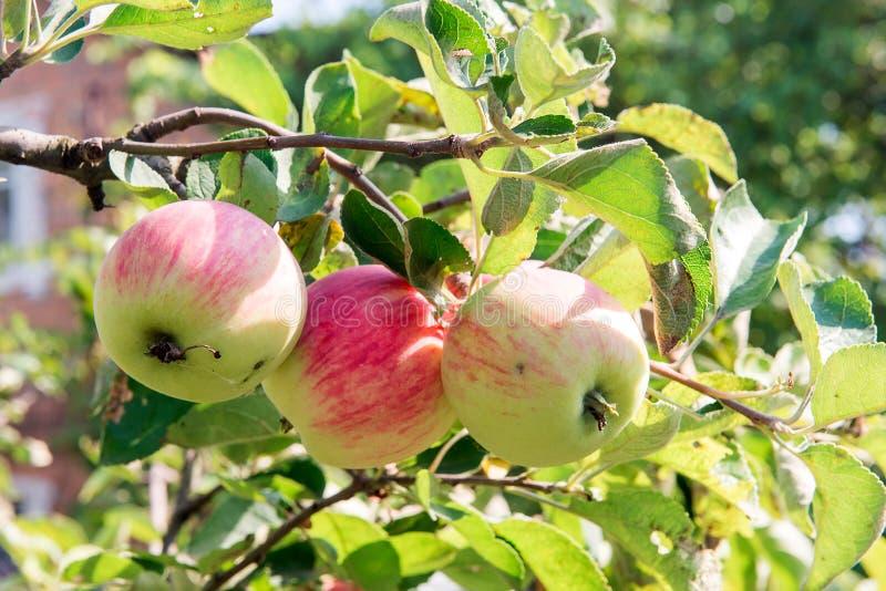 Apple-boom met rode appelen De appelboom in de tuin De vruchten van de de zomertuin Groene Appelen op de Boom Oogst van appelen R royalty-vrije stock fotografie