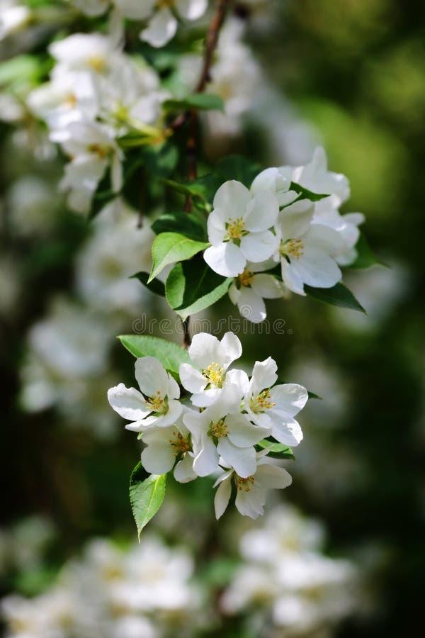 Apple-boom witte bloemen stock afbeelding