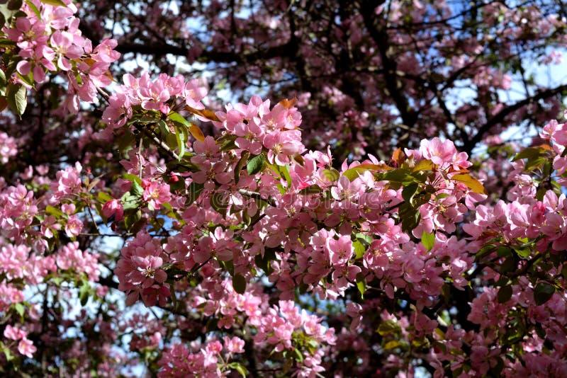 Apple-boombloei Malus Niedzwetzkyana Takken met gevoelige roze bloemen royalty-vrije stock afbeeldingen