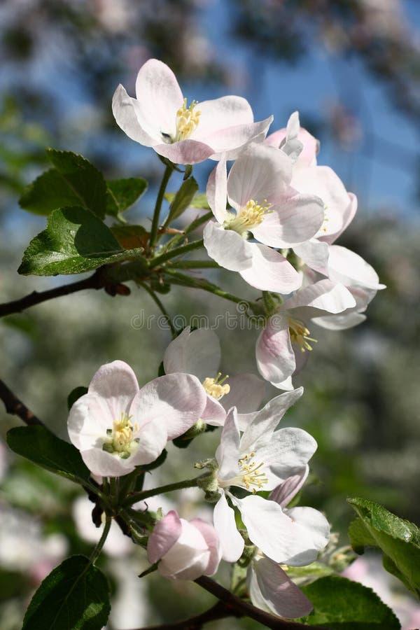 Apple-boombloemen in een zonnige dag royalty-vrije stock foto