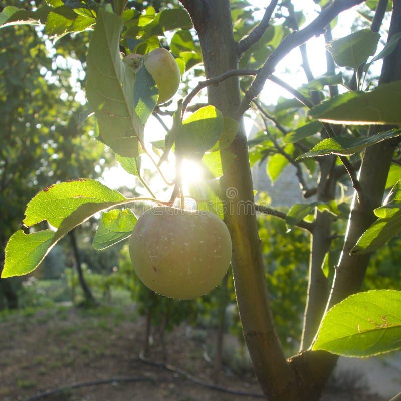 Apple in boomgaard royalty-vrije stock afbeeldingen