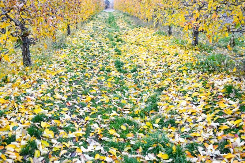 Apple-boomgaard in de herfst Geel gebladerte van appelboom royalty-vrije stock afbeelding