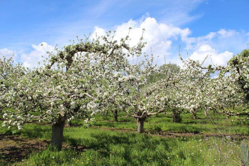 Apple-boomgaard met bomen in bloei stock afbeelding