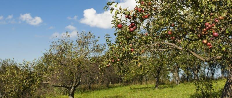 Apple-boomgaard met rijp rood fruit royalty-vrije stock fotografie