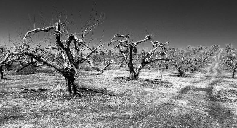 Apple-boomgaard op gebied, de vroege lente stock afbeelding