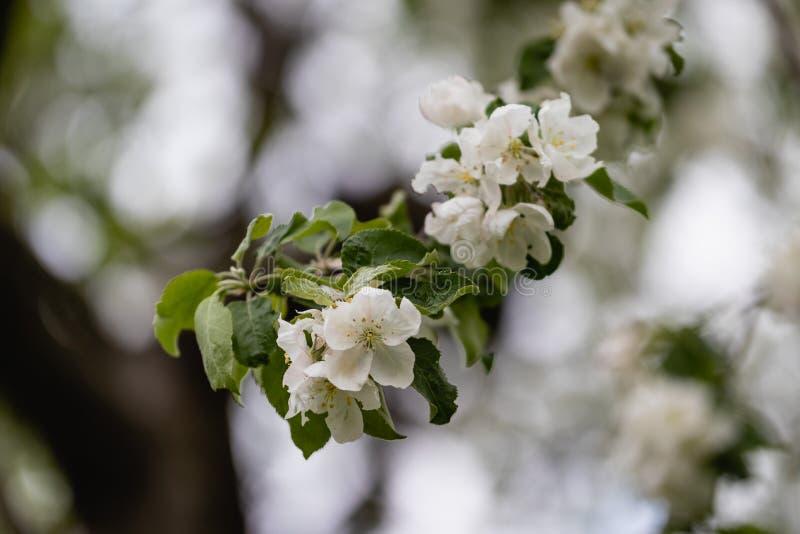 Apple-boomtak in bloei in de lente zonnige dag stock foto's