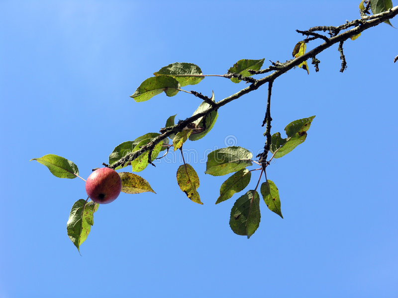Download Apple Branch stock photo. Image of limb, leaf, fall, nature - 300344