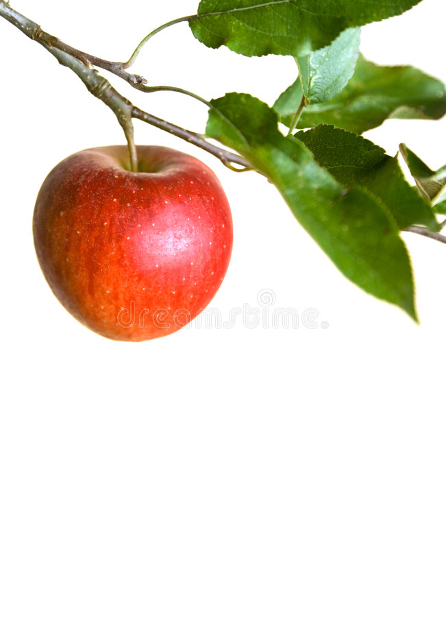 Apple on a branch royalty free stock images