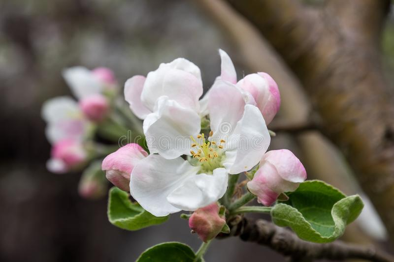 Apple branch in a beautiful blooming stock images