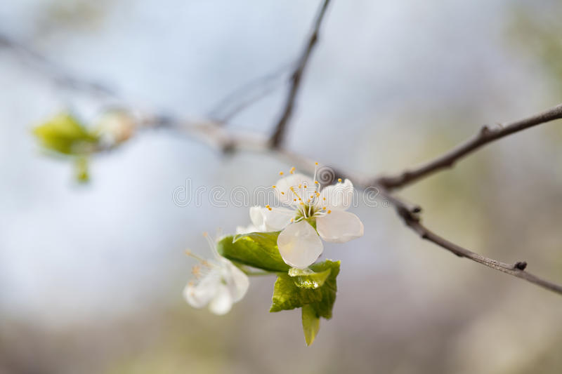 Apple branch with blooming white flowers and green leaves. Macro view fruit tree. spring time in the garden. soft royalty free stock photo