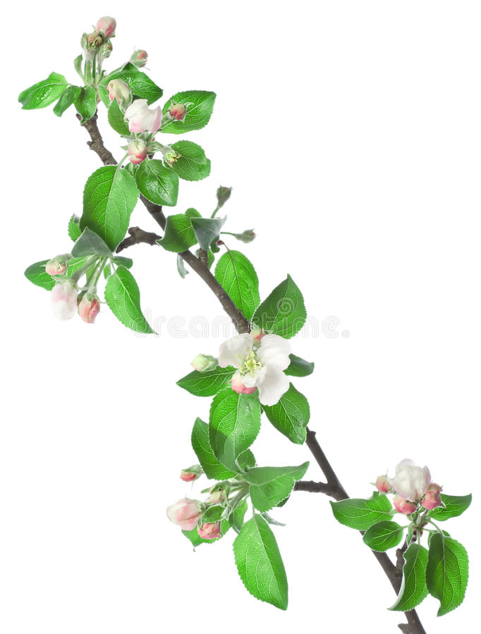Apple branch in blossom royalty free stock photography