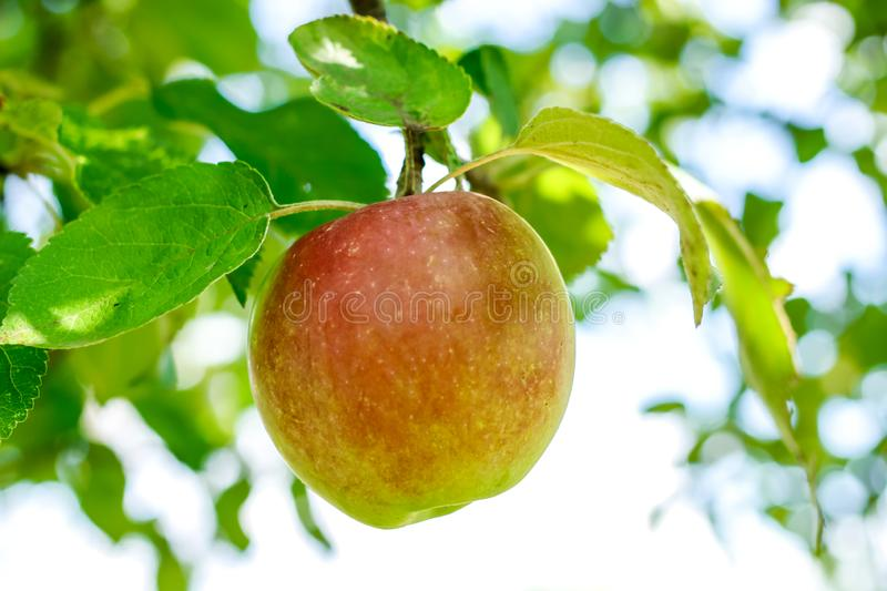 Apple on a branch. Closen royalty free stock images