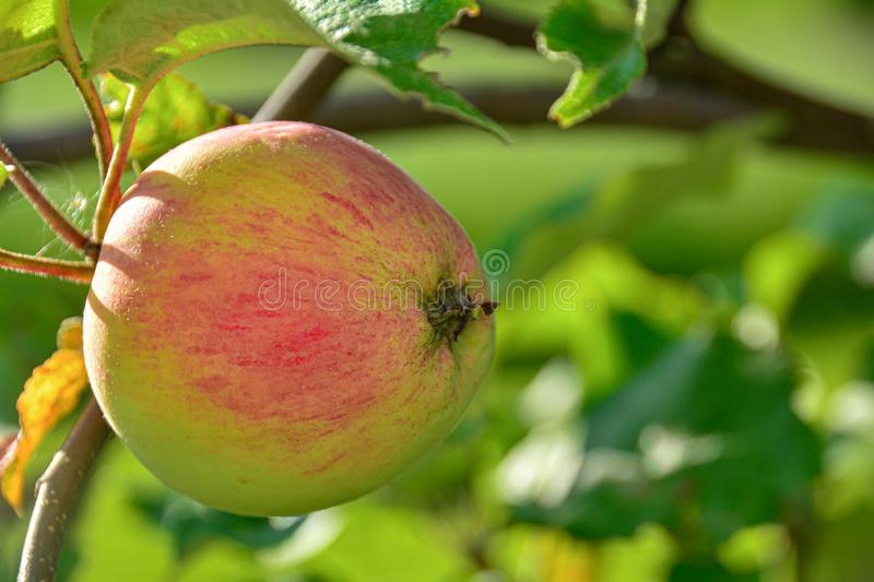 Apple on a branch, ready to harvest. Concept: autumn time, harvesting. no genetically modified foods stock photos