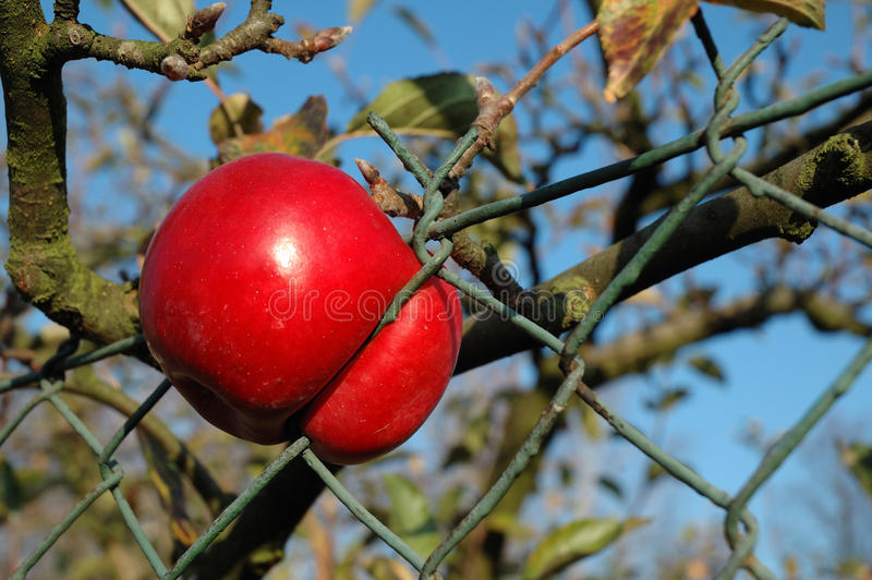 Apple Caught In The Fence Royalty Free Stock Photo