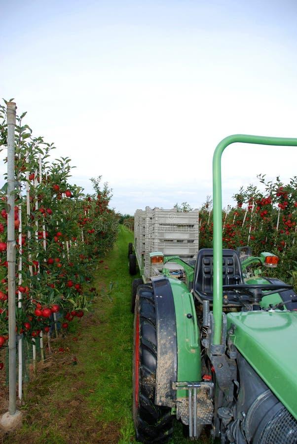 Apple colhe, as maçãs maduras vermelhas é colhido imagens de stock royalty free