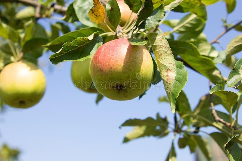Apple com folhas foto de stock
