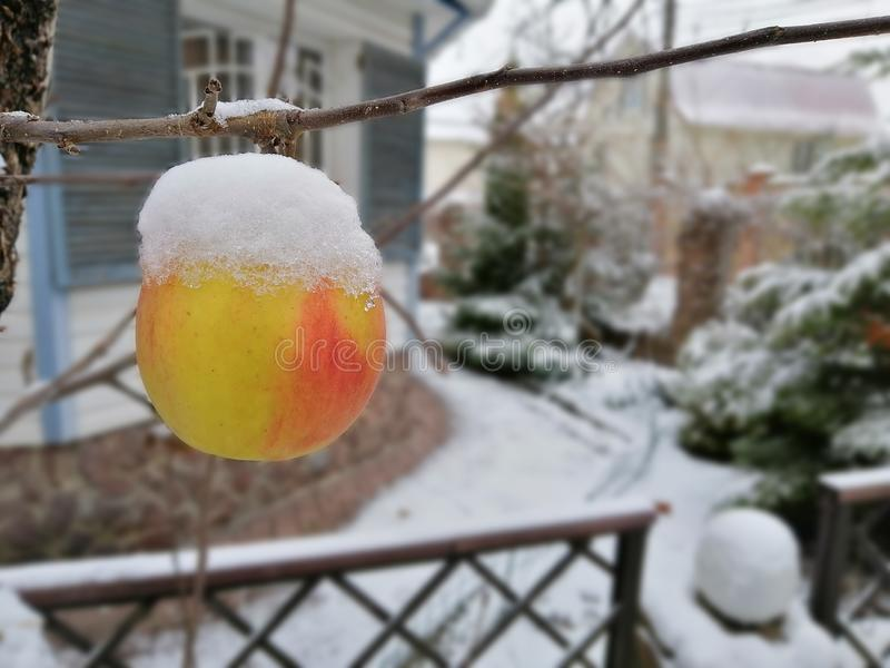 Apple covered with snow hanging in backyard of the house, blur effect. stock images