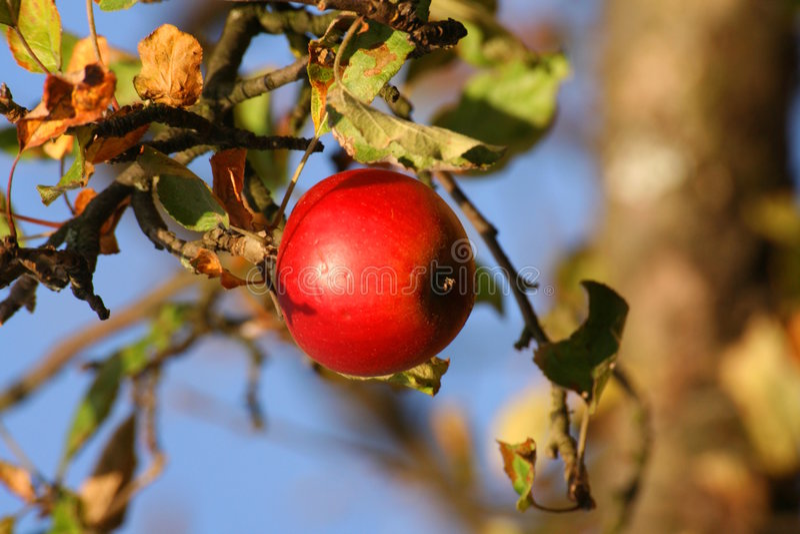 Apple d'automne photos stock