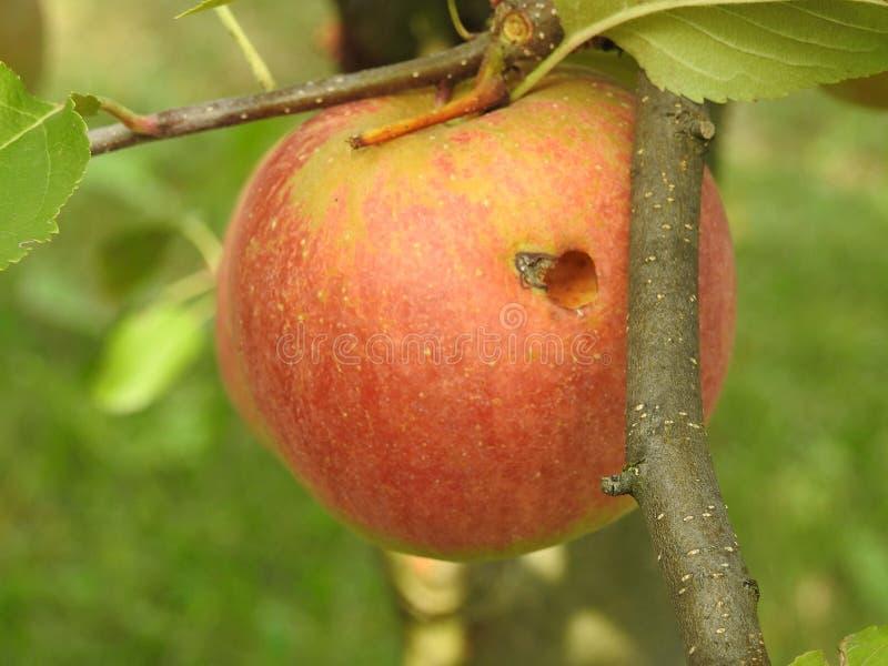 Download Apple dans le pommier image stock. Image du nourriture - 87704729