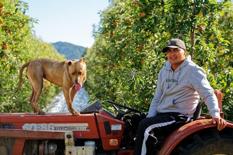 Apple, das Saisonarbeiter und seinen Hund in Motueka, Neuseeland auswählt lizenzfreie stockfotos